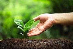 Сезон дождей дерева кофе молодого завода стоковые фотографии rf