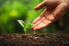Сезон дождей дерева кофе молодого завода стоковые изображения rf