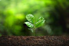 Сезон дождей дерева кофе молодого завода стоковое изображение