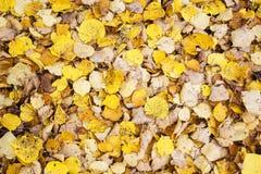 Сезон изменения цвета осени красочен, с дублированиями листьев красного цвета и желтого цвета Стоковые Изображения