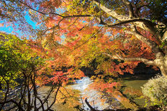 Сезон клена на падении, Японии стоковое фото rf