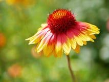 Сезон лета, зацветая яркий желтый цветок стоковое фото