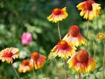 Сезон лета, яркие желтые цветки зацветают в саде стоковые изображения rf