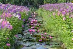 Сезон лилии воды зацветая с красивыми фиолетовыми цветками стоковое изображение
