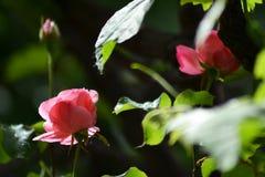 Сезон надушенных роз стоковые фотографии rf