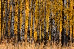 Сезон падения в birchwood стоковое изображение rf