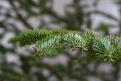Сезон рождества макроса ветви сосны Стоковые Изображения RF
