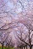 Сезон #25 Сакуры Стоковое Изображение