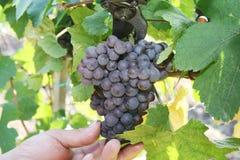 сезон хлебоуборки виноградины стоковое изображение