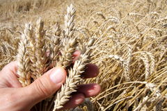 сезон хлебоуборки стоковые фотографии rf
