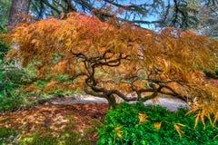 Сезон Authomn падения листвы дерева японского клена Стоковые Изображения RF