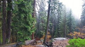 Секвойи Redwood на солнечный день падения в гигантском лесе видеоматериал
