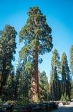 Секвойя в лучах заходящего солнца на национальном парке секвойи, Калифорнии, США Стоковая Фотография RF