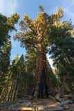 Секвойя гризли гигантская в Yosemite, Калифорнии стоковое изображение rf