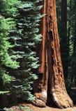 секвойя национального парка Стоковое Фото