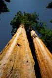 секвойя Стоковые Изображения