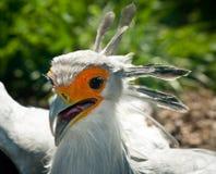 секретарша крупного плана птицы Стоковые Фото