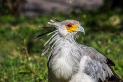 Секретарша птица стоковое фото