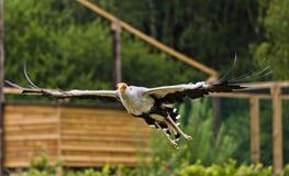 Секретарша птица Стоковая Фотография RF