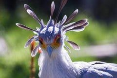 Секретарша птица Стоковая Фотография