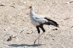 Секретарша птица стоковое фото rf