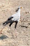 Секретарша птица стоковые фотографии rf