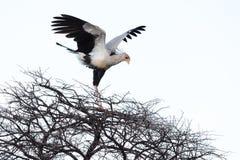 Секретарша птица стоковые изображения