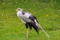 Секретарша птица (serpentarius Стрелца) стоковое фото