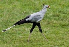секретарша птицы Стоковое фото RF
