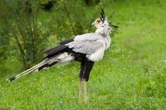 секретарша птицы Стоковое Фото