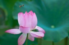 Секрет пчелы и лотоса Стоковая Фотография