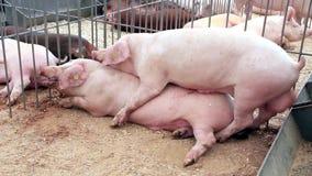 Секс свиней с людьми