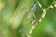 секс dragonfly Стоковые Фотографии RF
