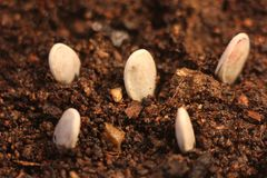 Селективный конец-вверх зеленого саженца Зеленая тыква засаживает расти от семян в земле стоковые изображения rf