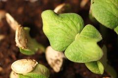Селективный конец-вверх зеленого саженца Зеленая тыква засаживает расти от семян в земле стоковая фотография rf