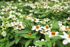 Селективный конец вверх по белым или желтым цветам малого цветеня цветка Elegans Zinnia на зеленом цвете выходит предпосылка Стоковая Фотография
