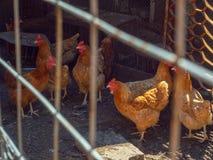 Селективный мягкий фокус на стаде куриц в hencoop Цыплята Брайна за wirecloth дома курицы Изображение коричневых куриц Стоковая Фотография RF