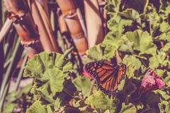 Селективный фокус бабочки монарха сидя на заводе гераниума Стоковые Изображения
