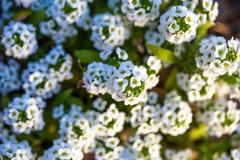 Селективный фокус белых цветков калины Стоковые Фото