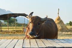 Селективный фокус, буйвол смотря камеру, тайское сельское хозяйство буйвола в поле с солнечным днем Стоковое Изображение