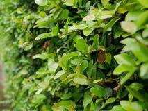 Селективный фокус зеленого завода Pumila фикуса Coatbuttons растя на загородке стоковые изображения rf