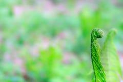Селективный фокус на молодых frond или лист папоротника с космосом экземпляра используя как природу запачкал предпосылку или обои Стоковая Фотография