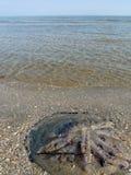 сели на мель медузы, котор Стоковая Фотография