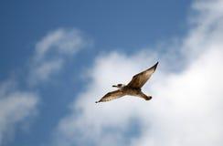 сельди чайки Стоковые Изображения RF
