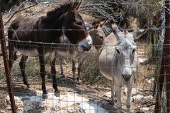 Сельская картина 3 милых ослов отдыхая в ферме стоковые изображения