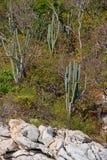 сельская местность кактуса Стоковая Фотография