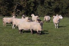 сельская местность пася сельских овец Стоковое Фото
