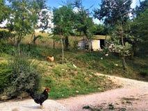 Сельская местность, цыплята и петух стоковые изображения rf