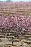 Сельский ландшафт, зацветая сад персика Стоковое Изображение RF