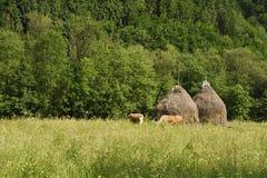 Сельский ландшафт со стогами сена и коровами пася стоковая фотография